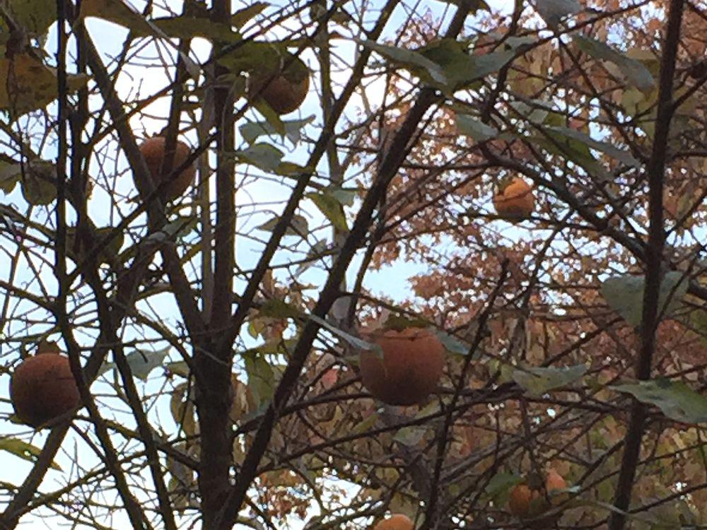 伊田家の庭の柿