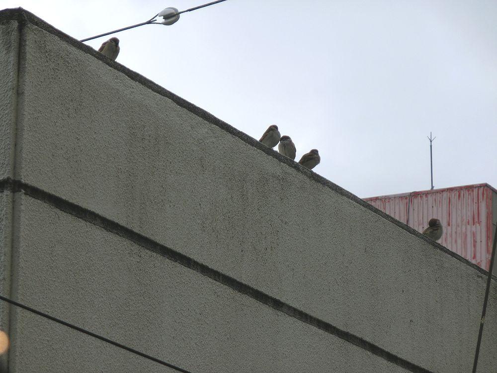 石引教室の窓からスズメ達が見えました